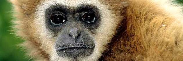 Der rasierte Gibbon